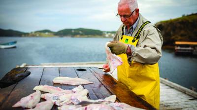 Cod Filleting, Trinity, Eastern, Newfoundland Tourism Photo Gallery